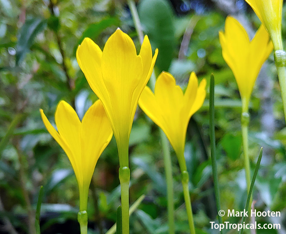#Zephyranthes pulchella - Magic Lily. The leaves of these spectacular lilies grow through the winter and spring and die off in summer; flowering occurs in autumn. Leaves are sedge-like and flowers are golden yellow.   #ornamentalplants #FridayFeeling