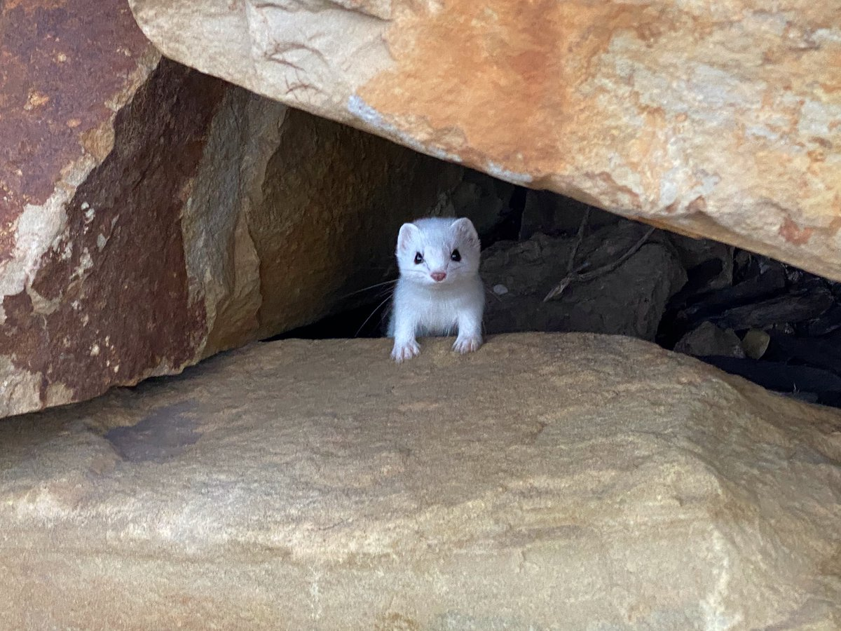 Ermine in the rocks.  I see him every morning.