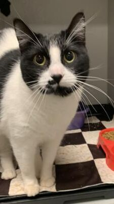 Smitten, a 3-year-old black and white cat at a shelter in #Raeford, #NC, needs a home  #URGENT #AdoptableCatofDay 🐈⬛