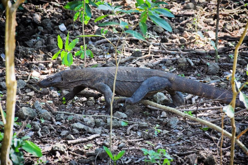 Our Incredible Day with the Komodo Dragons and #Snorkelling Pink Beach   https://t.co/KdO3hJ7083  #travel #lookatourworld #travelbloging #travelbloggers #KomodoDragons #PinkBeach https://t.co/JHjFYqE44S