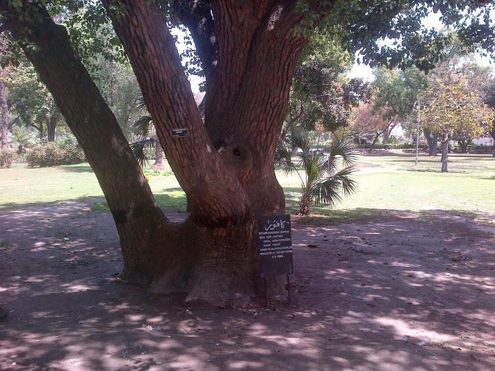 Camphor tree in Lawrence Garden