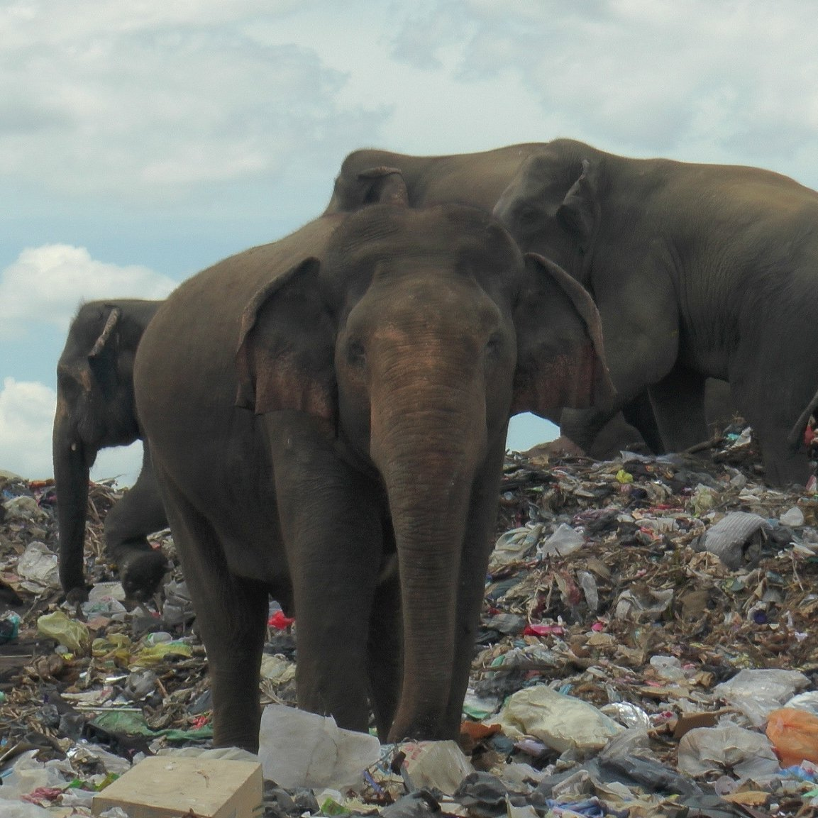 Elephants in Sri Lanka are searching garbage for food because a dump was built in the middle of their habitat.  The elephants are eating plastic waste, slowly killing them, say officials. A record 361 died last year from causes like plastic in their food, poison or being shot. https://t.co/jf5uGqVm2s