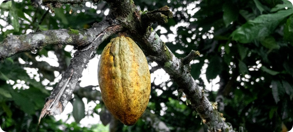 According to @PurProjet, adopting cocoa-agroforestry in Côte d'Ivoire has the potential to increase farmers household revenues from 9% up to 50% on average over 30 years!   Check out what we're doing for #smallholders in Côte d'Ivoire by clicking below! https://t.co/I6M4BwY42L https://t.co/CSmSWLPOv7