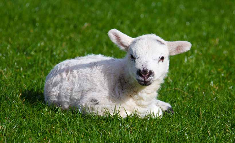 Too Far? Scientists Have Used Gene Editing to Create a Lamb With Super Low Self-Esteem: ow.ly/mN3850Cvk4e