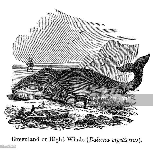 O histórico de caça às baleias é marcado pela superexploração das espécies, com sucessivos esgotamentos populacionais.   Teve início com a baleia-franca-boreal, até que entrou em declínio e, em busca de novas áreas, começaram a caçar a baleia-da-Groenlândia e a visar jubartes. + https://t.co/OfaRuRfeXh