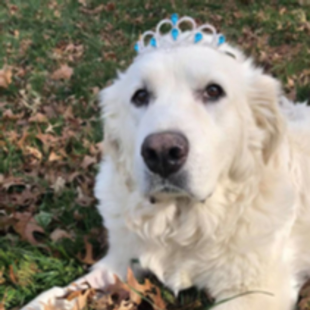 Cinderella doesn't always wear slippers, but she always gets her happily ever after! Molly is just one of the formerly neglected senior dogs who are now healthy, happy and loved because of you! Please help us make more dreams come true this #GivingTuesday!