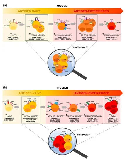 "Fantastic new review with a great title: ""Hiding in Plain Sight: Virtually Unrecognizable Memory Phenotype CD8+ T cells"" https://t.co/mB9mCjwOj7 from Daniel Thiele @NicoleLaGruta1 @AngelaSciences @TabiHussain from @MonashBDI @Monash_FMNHS #mdpiijms via @IJMS_MDPI https://t.co/LWSBK3uCD6"