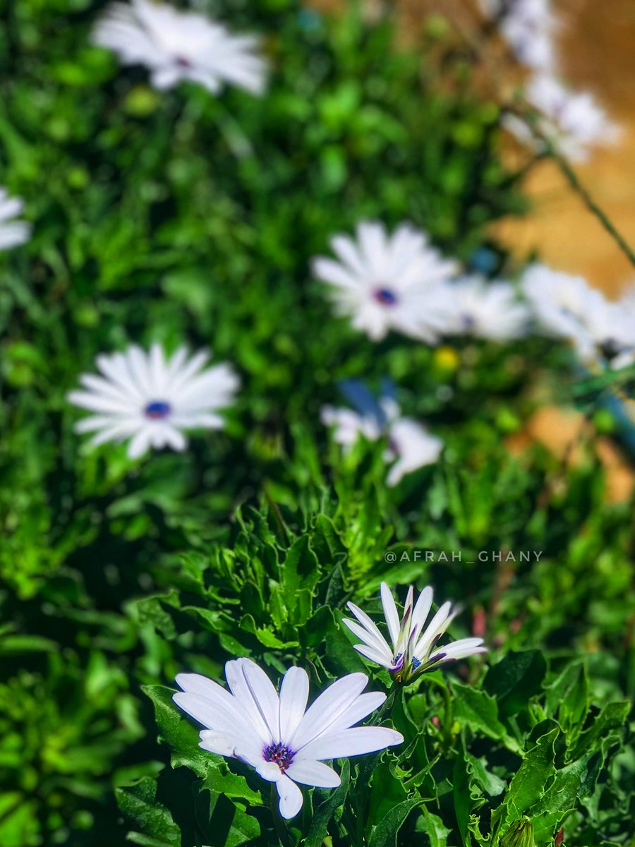 """""""Flowers always make people better, happier and more helpful; they are sunshine, food and medicine for the soul."""" – Luther Burbank 🤍 #photography #iphonography #srilanka #nuwareliya #flowerphotography #shotoniphone #daisy #daisyflower #afrahsphotography https://t.co/frHX5KHXBZ"""