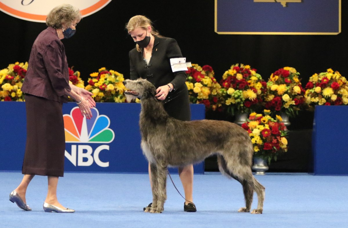 Isn't she GORGEOUS 😍  Claire the Scottish Deerhound beat out hundreds of dogs representing 168 breeds and varieties recognized by the American Kennel Club.   #nationaldogshow #bestinshow