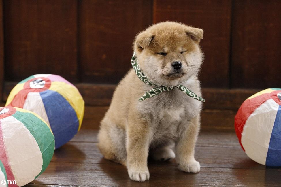 紙風船はお気に召さない豆助。😅19代目豆助。#mamesuke #豆助 #柴犬 #shibainu #豆助 #puppy  #子犬 #イッヌ #강아지 #chiot  #cucciolo  #Hündchen  #VALP  #perrito  #щнeok