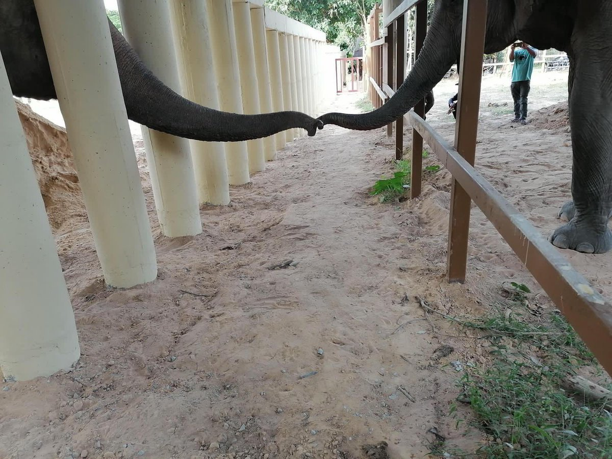 """#FreeKaavan 🐘: First contact in 8 years!   We can now officially call him the """"former loneliest elephant in the world""""! Seeing Kaavan interacting with other elephants is a huge moment for us but more importantly for Kaavan. 💕We are extremely moved! https://t.co/x5k60XTORP"""