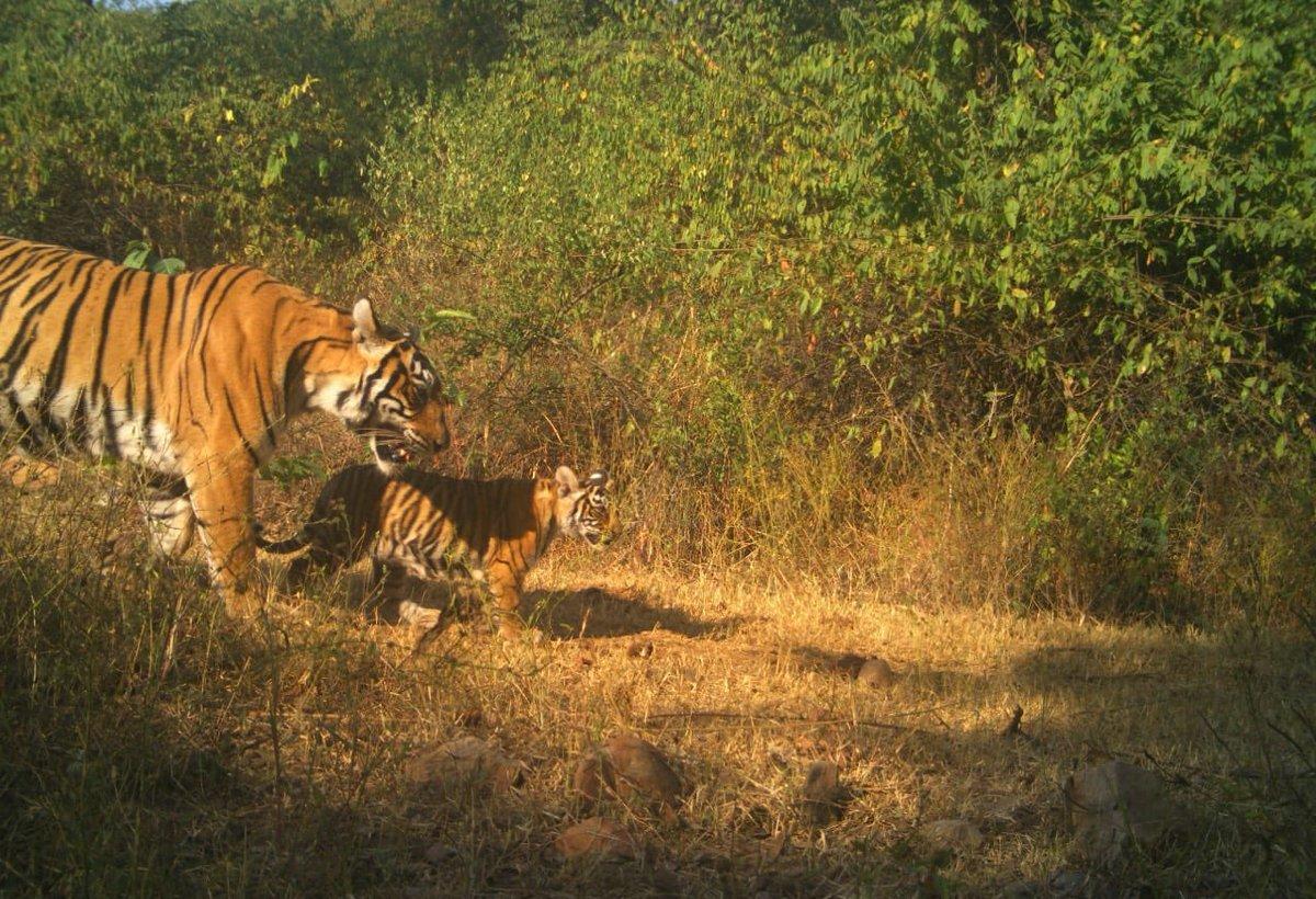 Good news from Sariska. Tigress ST-14 has a cub.  @ParveenKaswan @TandonRaveena