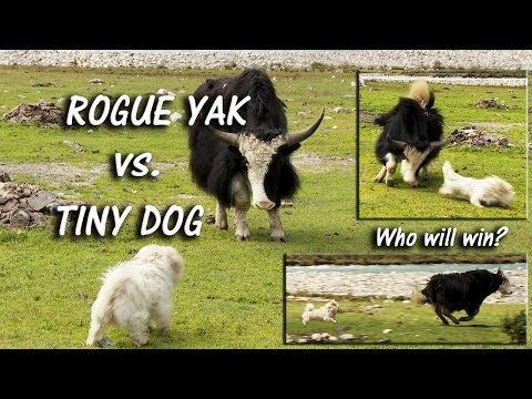 A twenty-pound bundle of fluff takes on an enormous, sharp-horned yak. You'll never guess who wins!  https://t.co/fFnV19vvvI #Tibet #China #Yak #humour #humor #funny #animals #dogs #travelbug #traveling #travelling https://t.co/uvi825WivF