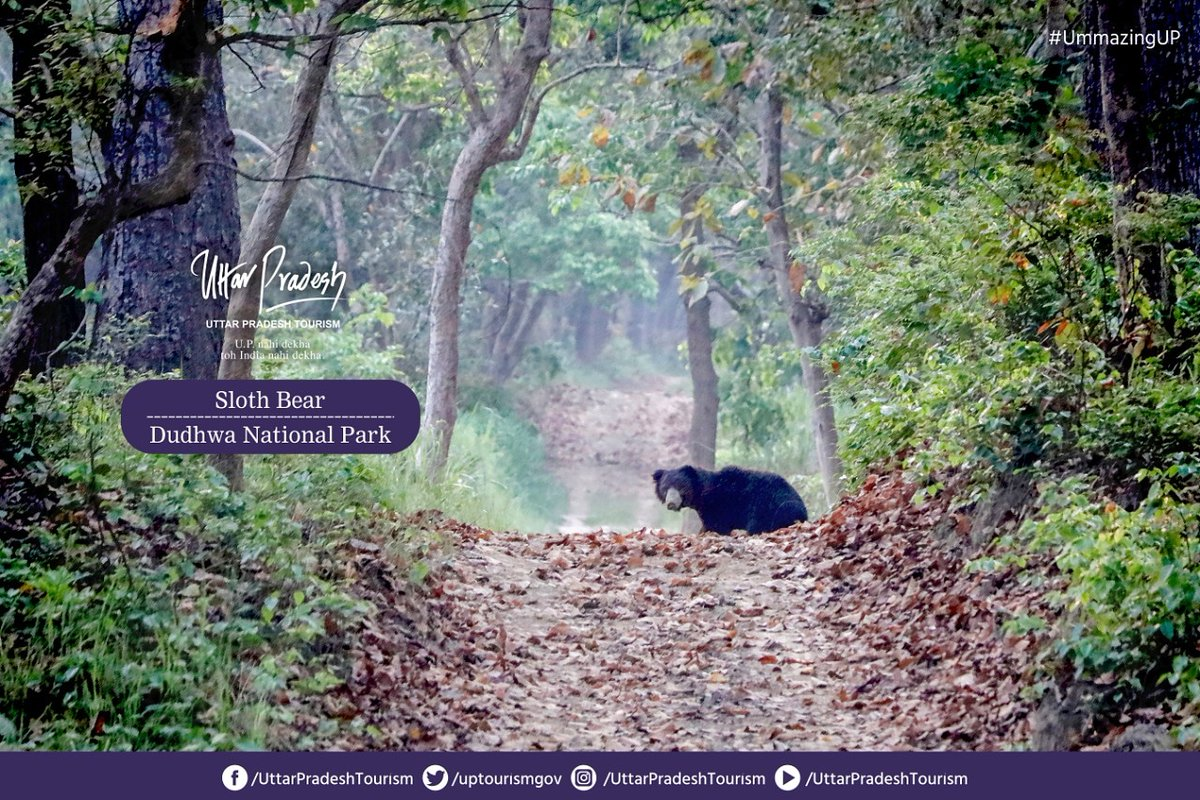 The sloth bear listed as an endangered species is found in Dudhwa National Park. Lockdown gave them a suitable environment for breeding, resulting in growth of their population. They are fond of eating fruits, ants and termites. #UPNahiDekhaTohIndiaNahiDekha #UmmazingUP