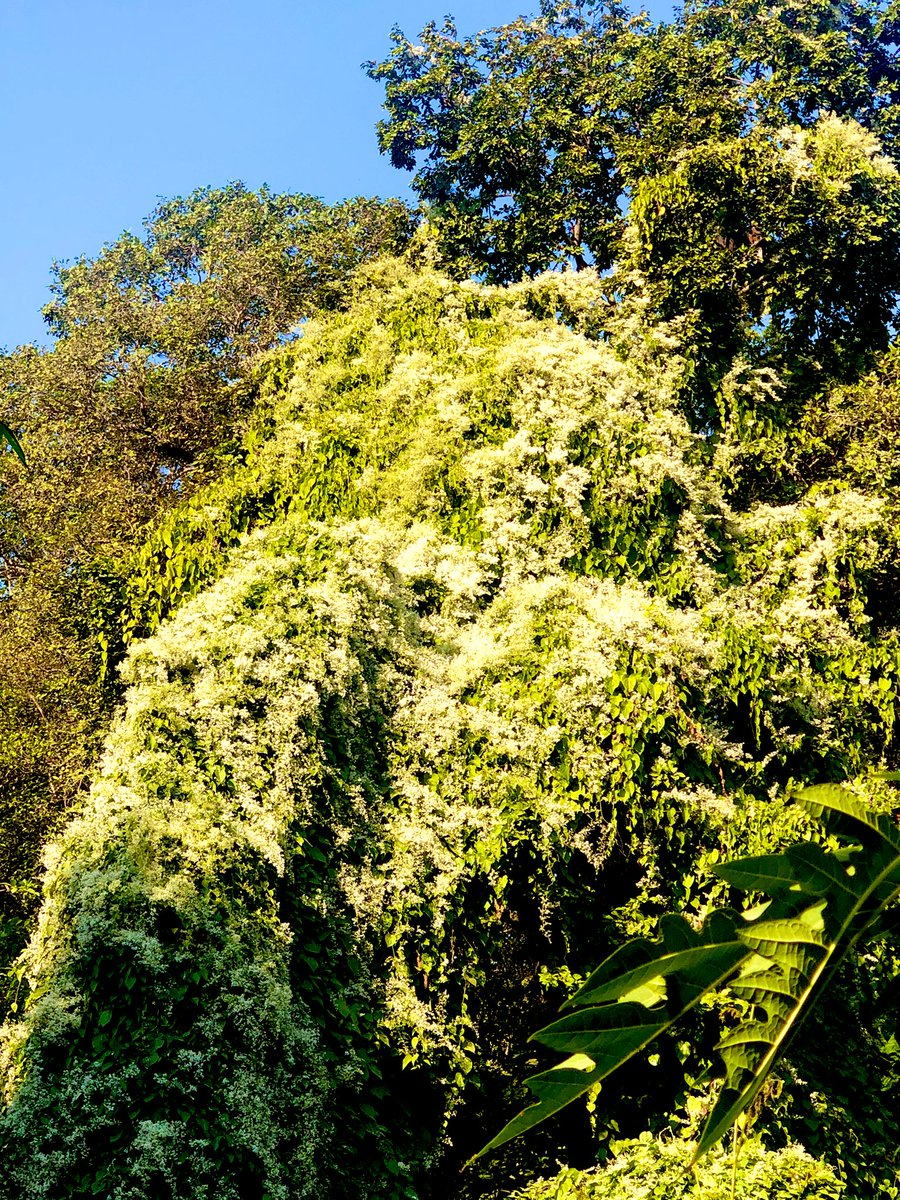 Giloy is a climber which became quite popular during Covid times. Its botanical name is Tinospora cordifolia, because of their heart shaped leaves. Now is its flowering time. White tiny flowers have covered the canopies of some of the trees. #flower #nature