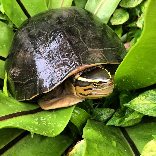 #WednesdayWisdom  As #habitat generalist, Southeast Box turtle #species, is still relatively #common in most of its range mainly due to its ability to #adapt to a variety of habitats whether it be #natural or anthropogenically altered.