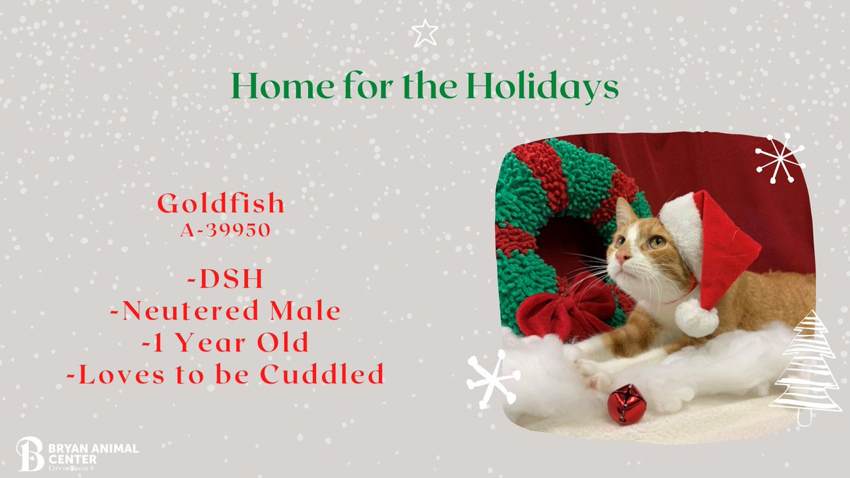 Let's get Goldfish Home for the Holidays!  He loves to cuddle and get attention. Goldfish is very tolerate and will be a great cat for children of any age. He loves to be held and will make a great addition to your family.  #HomeForTheHolidays #Adopt #CityofBryan #Cuddles #Love