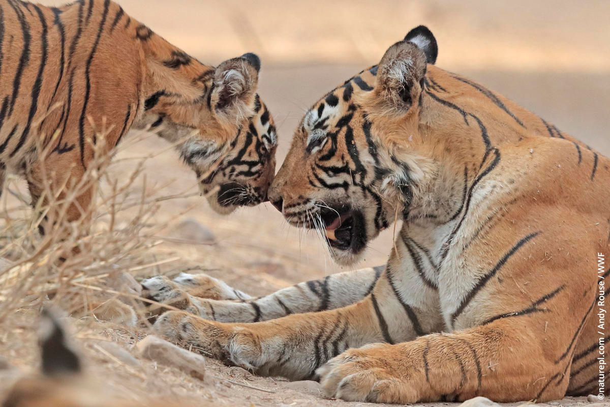 #DYK 🐯  When tigers greet each other they make a soft 'prusten' greeting sound. Other noises they use for communicating with each other include a grunt, growl, roar, moan, snarl, chuff, hiss and gasp!  #wednesdaywisdom #TX2 #tigers #wwf #wwftigers
