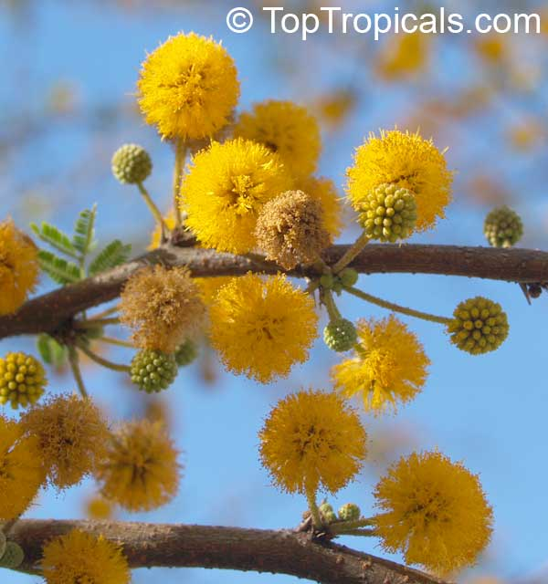 #Acacia farnesiana - Sweet #Mimosa is a large size, multi-stem thorny shrub. Blooms all winter through spring with honey-fragrant flowers - canary yellow powder puffs, attracting bees and butterflies.   #fragrantplants #floweringshrubs #WednesdayWisdom