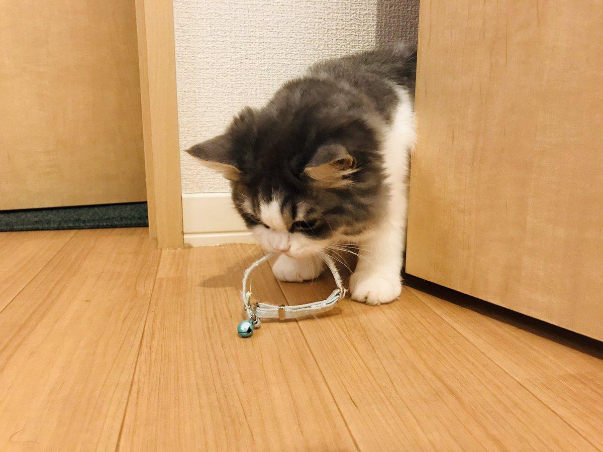 首輪変えたら鈴が恋しいのか子猫の時の首輪つけてほしそうに持ってきてて私、泣いちゃった。