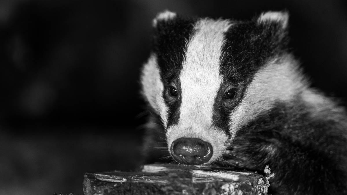 Still editing Badger pics from earlier this year.  #TwitterNatureCommunity @CalderdaleBadg1@BadgerTrust #wildlife #badgers #wildlifephotography   #nature  #BBCWildlifePOTD @ThePhotoHour @LensAreLive @NatureUK @Team4Nature @Britnatureguide @wildlifemag