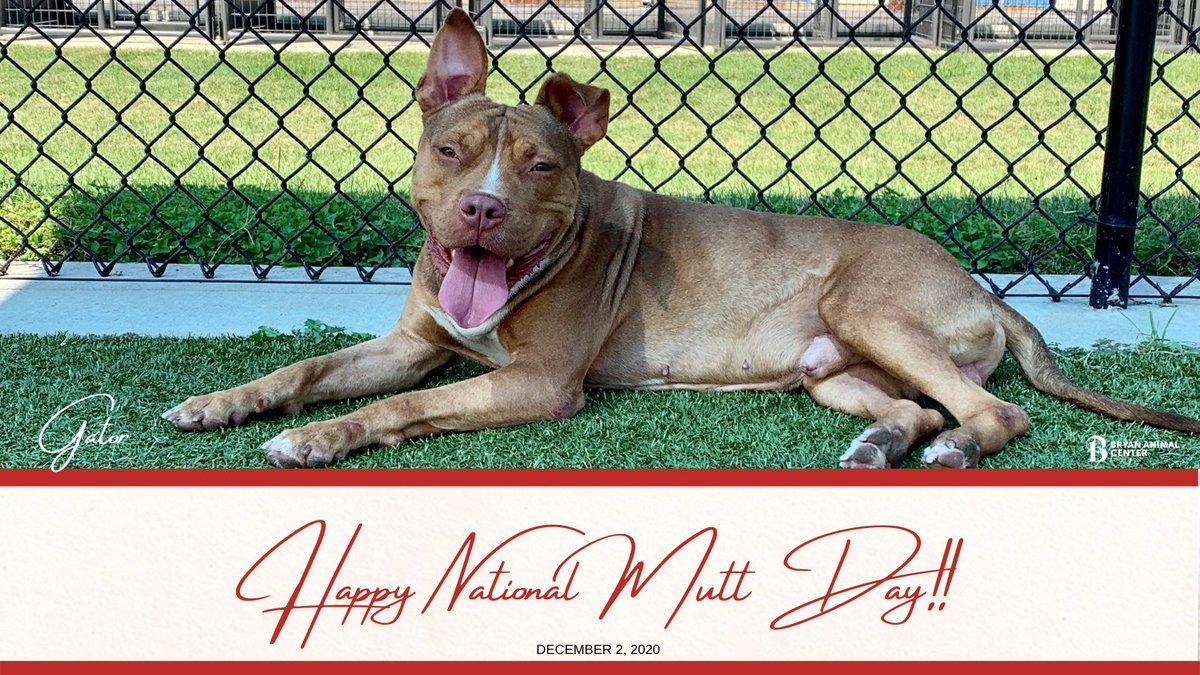 Gator would like to wish you a happy National Mutt Day! #NationalMuttDay #Gatorbug #pitbull #Lookatthatsmile #CityofBryan #Adopt