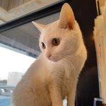 Image for the Tweet beginning: 珍しい所にいるおもち😀 ちょんって触ったらシャー言われました😂 今日もおもちは元気です😼  #猫まるカフェ #猫まるカフェ上野 #猫 #猫カフェ #上野