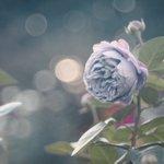 物憂げで美しい!薔薇 カインダ・ブルーを見て物思いに耽りたい…!
