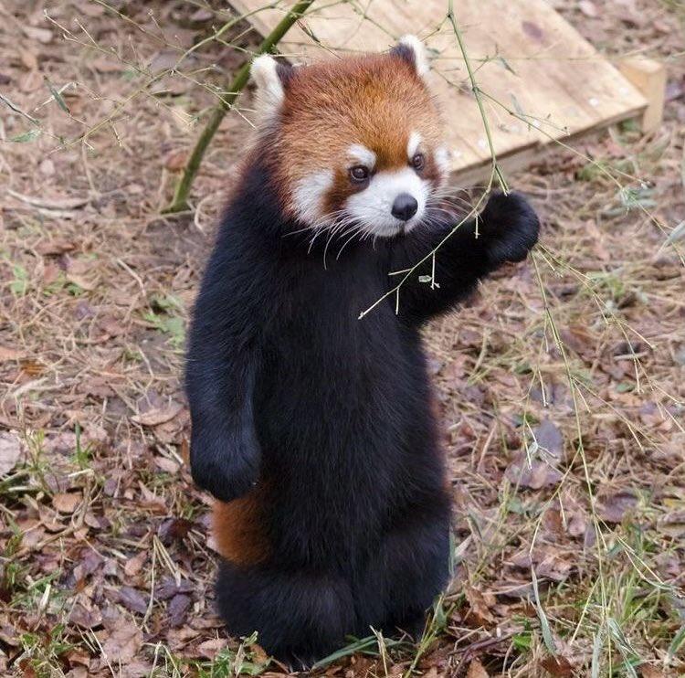 @Jaketoppen2 Ratio by this red panda https://t.co/kV4wTM1mvK