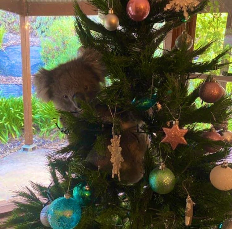 Y'all can go home now... #Australia just won #Christmas... This little dude climbed onto the tree of a #SouthAustralia resident when her daughter left the door open! Come on!! 🐨🎄🥰 via @abcnews + Amanda McCormick