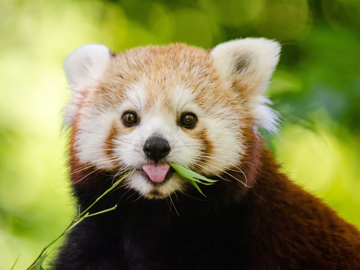 @hellotobio Here is a red panda so you keep smiling. https://t.co/L8H56WgNUl