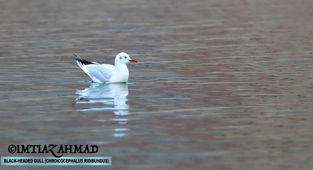 Black-headed Gull (Chroicocephalus ridibundus) Black-headed Gull (Chroicocephalus ridibundus) captured at Borith Lake Gojal, Hunza, Gilgit-Baltistan, Pakistan with Canon EOS 6D Mark II.  Canon EF 800mm f/5.6L IS USM Super Telephoto Lens https://t.co/6d58VxiYkj