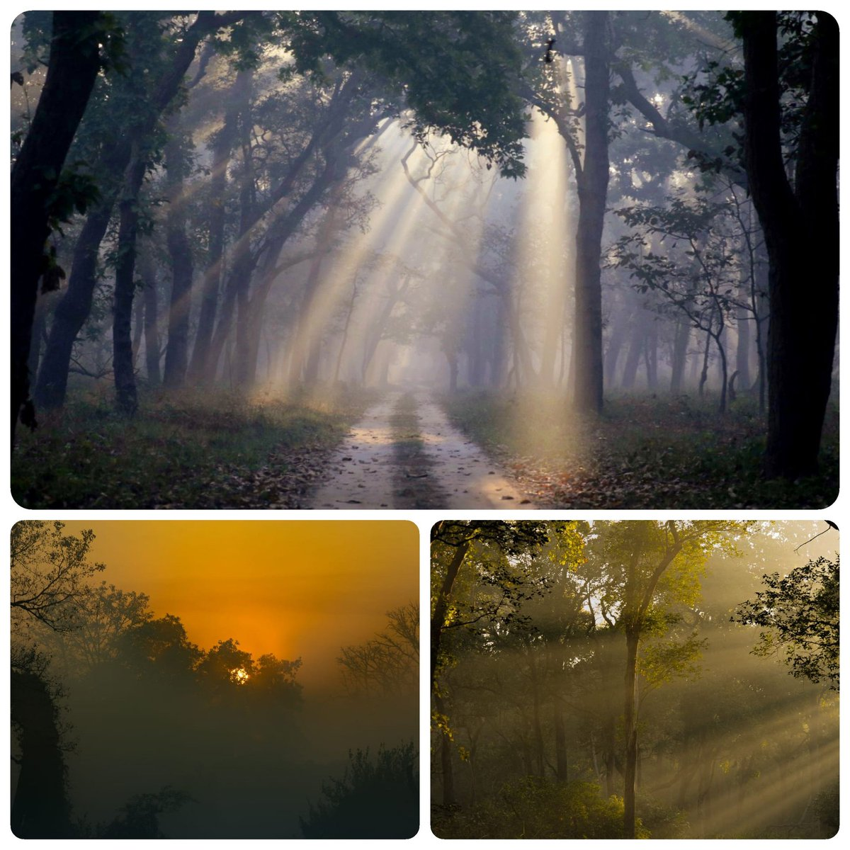 The magical misty mornings in the Saal forest of Dudhwa N.P. in the Terai arc landscape during winters is incredibly beautiful and must be experienced. @rameshpandeyifs @PrakashJavdekar, @uptourismgov
