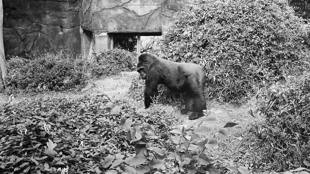 For my third annual #BlackFridayPhotoWalk, I went to the @DallasZoo. I challenged myself to get good pics with a Nikon F100, 50mm lens, and @ILFORDPhoto XP2 400 film. Looks like I did okay.  #filmphotography #DallasZoo #hippos #penguin #gorilla #anteater #blackandwhite