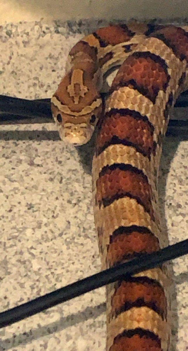 How is she so cute?? #corny #cornsnake #long #snakes #pets https://t.co/P7vQul00NY