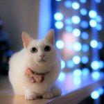 Image for the Tweet beginning: うちゅうとこうしんしてるにゃ byみ  #みかん #nekomikan #しろねこ #白猫 #whitecat
