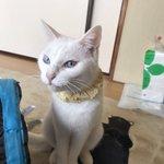 Image for the Tweet beginning: 朝起きてもおねむのかるかん。 朝ご飯に付き添わず寝てていいのに😅  #猫 #cat #ねこ #白猫 #眠い