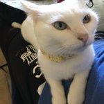 Image for the Tweet beginning: お仕事行かないでほしいの顔かな😌  でも行ったらすぐにぐっすり寝そうな顔でもある😅  #猫 #cat #ねこ #白猫 #眠い