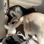 Image for the Tweet beginning: 43日目 黒と白とミルクティーの関係 「あれ?ちびどこいった?」 「僕はここにゃ!」  デカイしっぽに隠れちゃったね😅 #白猫 #子猫 #whitecat #黒猫 #猫との暮らし