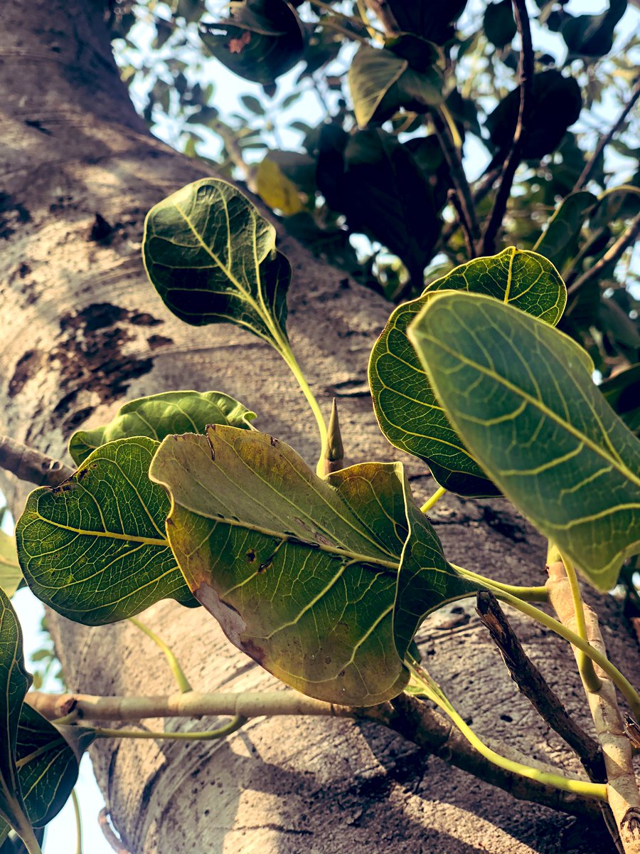 Krishna Fig (Ficus krishnae) is also called Makhan Katori or Krishna's butter cup. Leaves of the tree have pocket like structure at the base. Have you ever seen it ? #trees #mythology