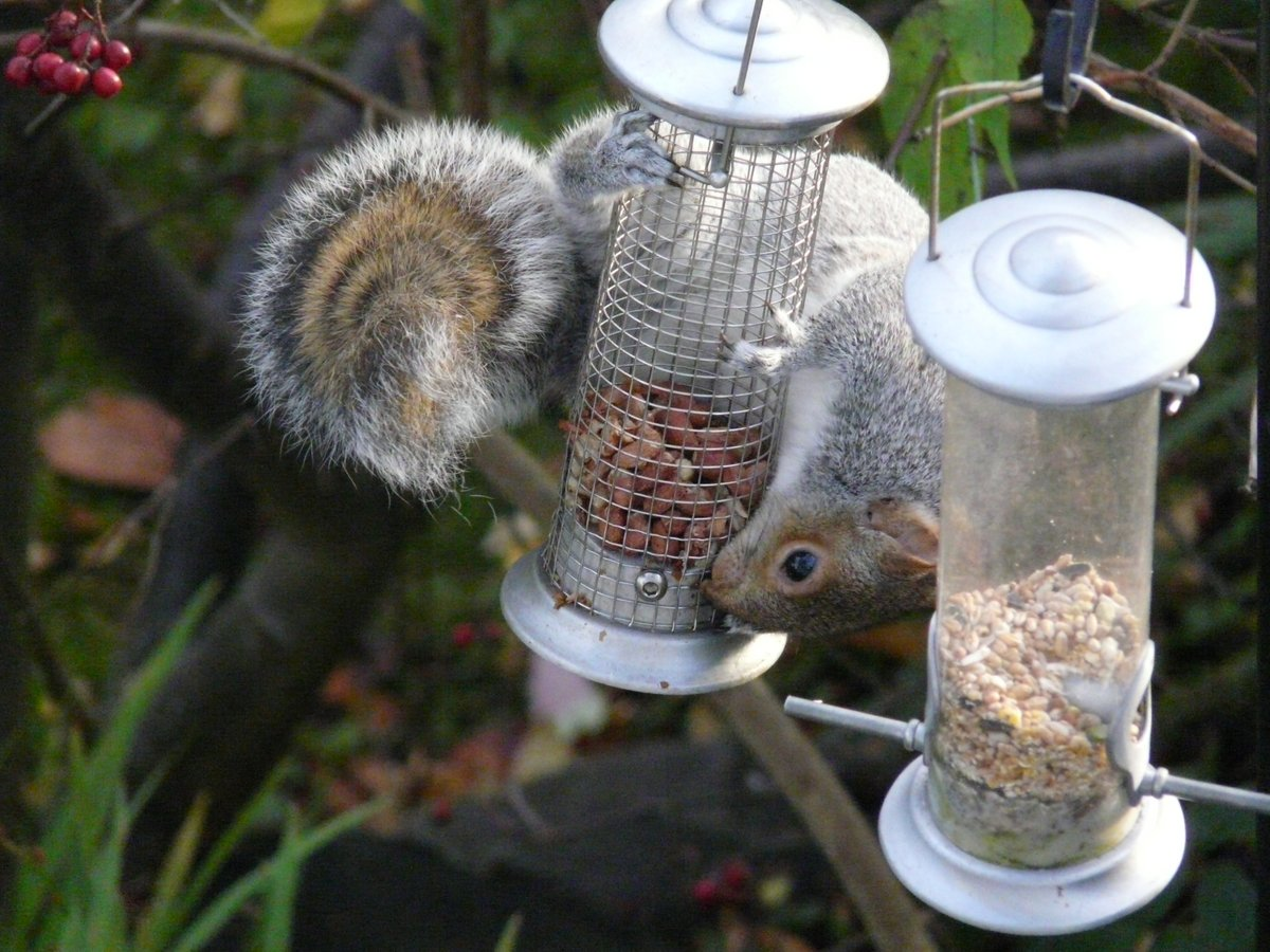 Cheeky squirrel on the feeder. Note the lovely coloured concentric circles on it's tail. #Squirrel #wildlife #wildlifephotography #nature #naturephotography #Edinburgh #Scotland @iNatureUK @Naturewatch_org @Wildlife_Photo @Wildphoto4all https://t.co/wehzzLTzio