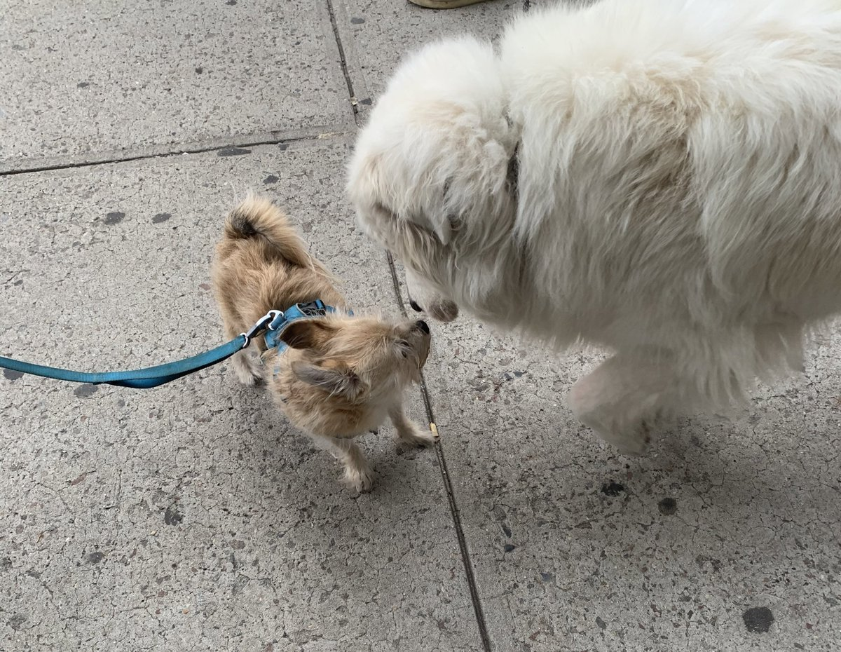 Moose, having an amorous encounter with Gemma, the Great Pyrenees, on this  #fridaymorning