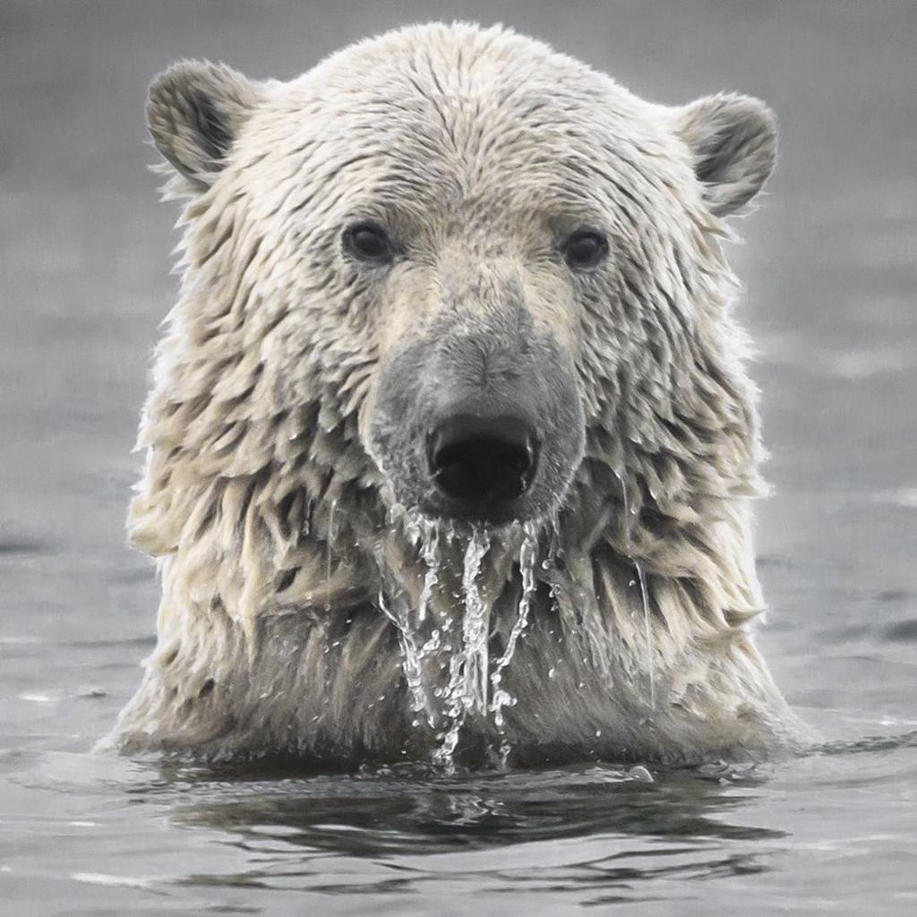 С 1984 года в Арктике растаяло 95% самого старого и самого толстого льда. Если он исчезнет, поглощение солнечного тепла темной открытой водой может привести к еще большему потеплению климата и потере последнего убежища для арктических видов животных. https://t.co/mo4QSf0NIJ