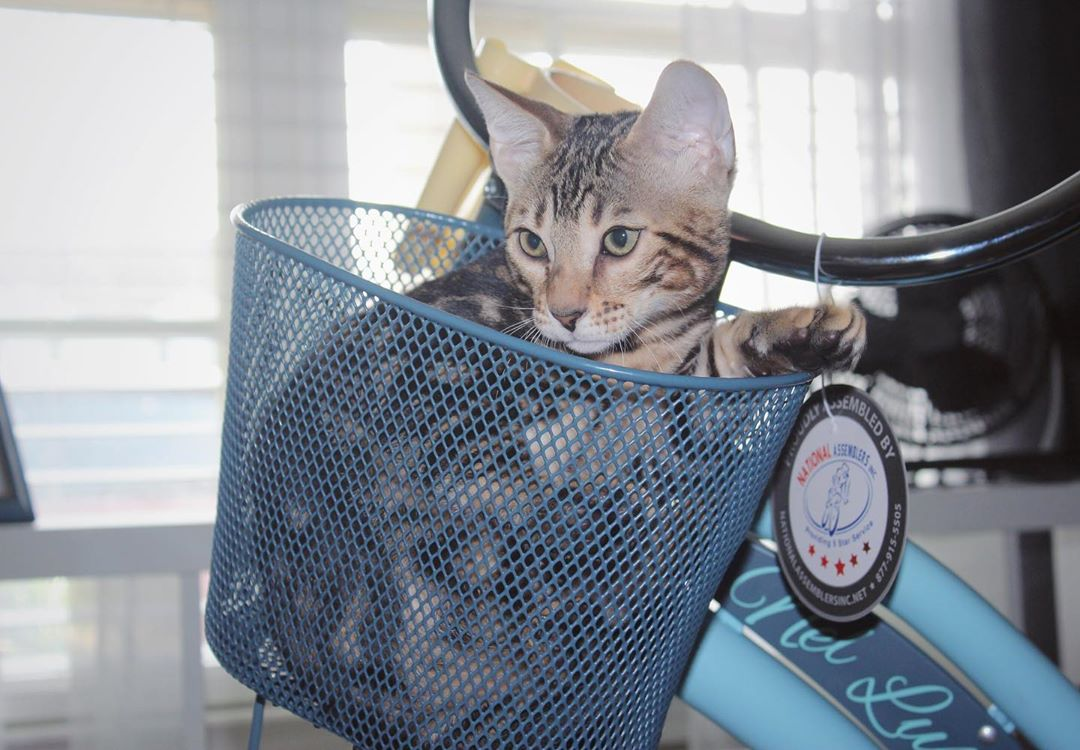 If I fits, I sits... 🐱 and then demand to be taken on a bike ride with mom. 🚴🏽‍♂️ 🐾 #LiveTheRide #CaturdayEveryday  📷: @oliveyoubengal https://t.co/6hZ3qxr02b