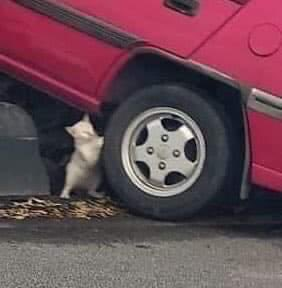 Cat Pushing a Car
