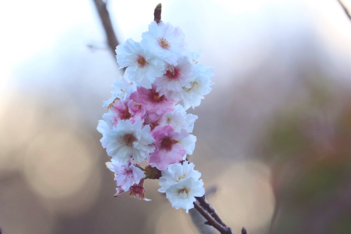 おはようございます 12月5日☁️  冬に咲く桜の花は 1円玉より小さくて とってもかわいい 🌸˘︶˘).。.:* ♬︎*゜  #写真撮ってる人と繋がりたい #写真好きな人と繋がりたい #ファインダー越しの私の世界 #冬の桜 #mako https://t.co/7h3jnXHMy0