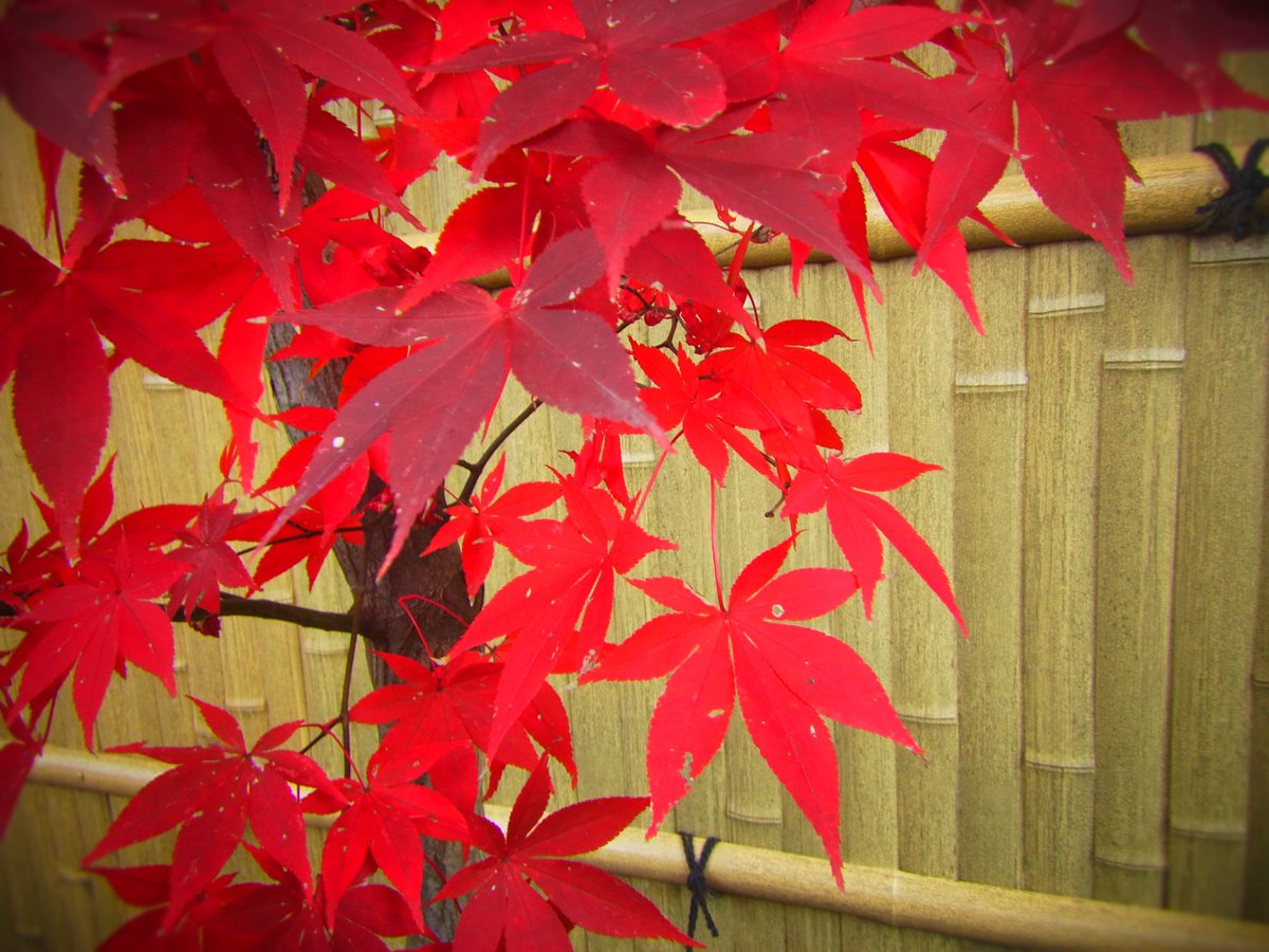 季節の植物写真シリーズ(時期は大体なんだけど)  紅葉タイム🍁して、さてホントに寝なきゃ💦 でも好きな事、書けて…少し気が晴れた😢 地獄の土日突入😞  #写真 #photography #ファインダー越しの私の世界 #キリトリセカイ #写真で伝えたい私の世界 #photo #flower #nature #秋 #写真垢ではないです https://t.co/1E8yjoOQ8B