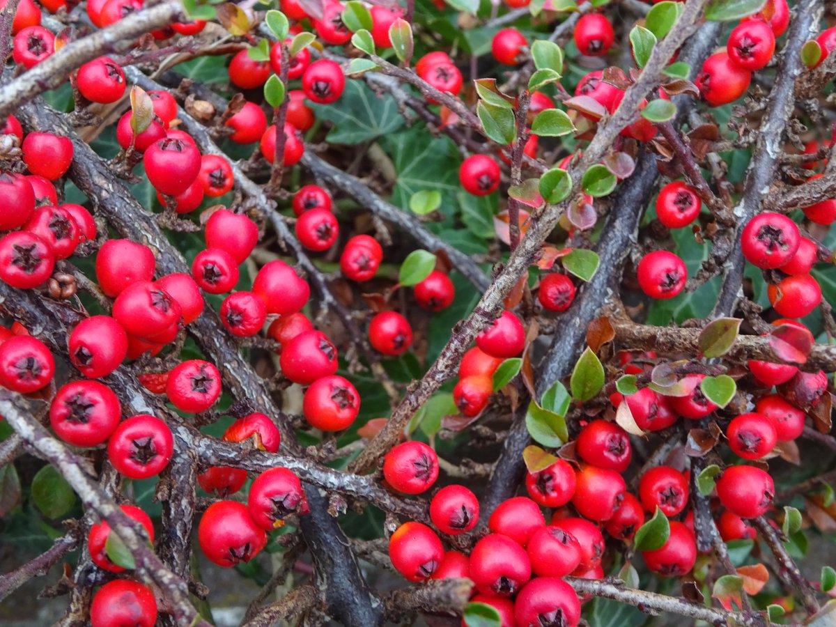 Red berries everywhere! #nature #NaturePhotography  #naturelovers #TwitterNatureCommunity #Twitter @MacroHour #gardens