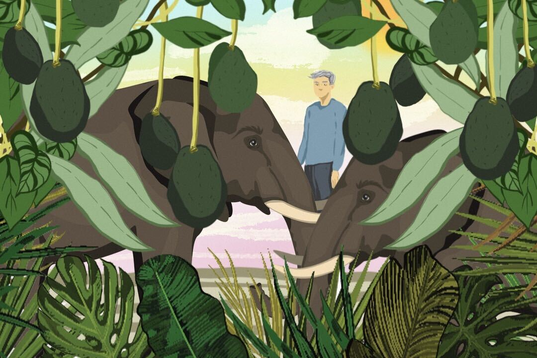 Is overwhelming demand for avocados putting elephants at risk?