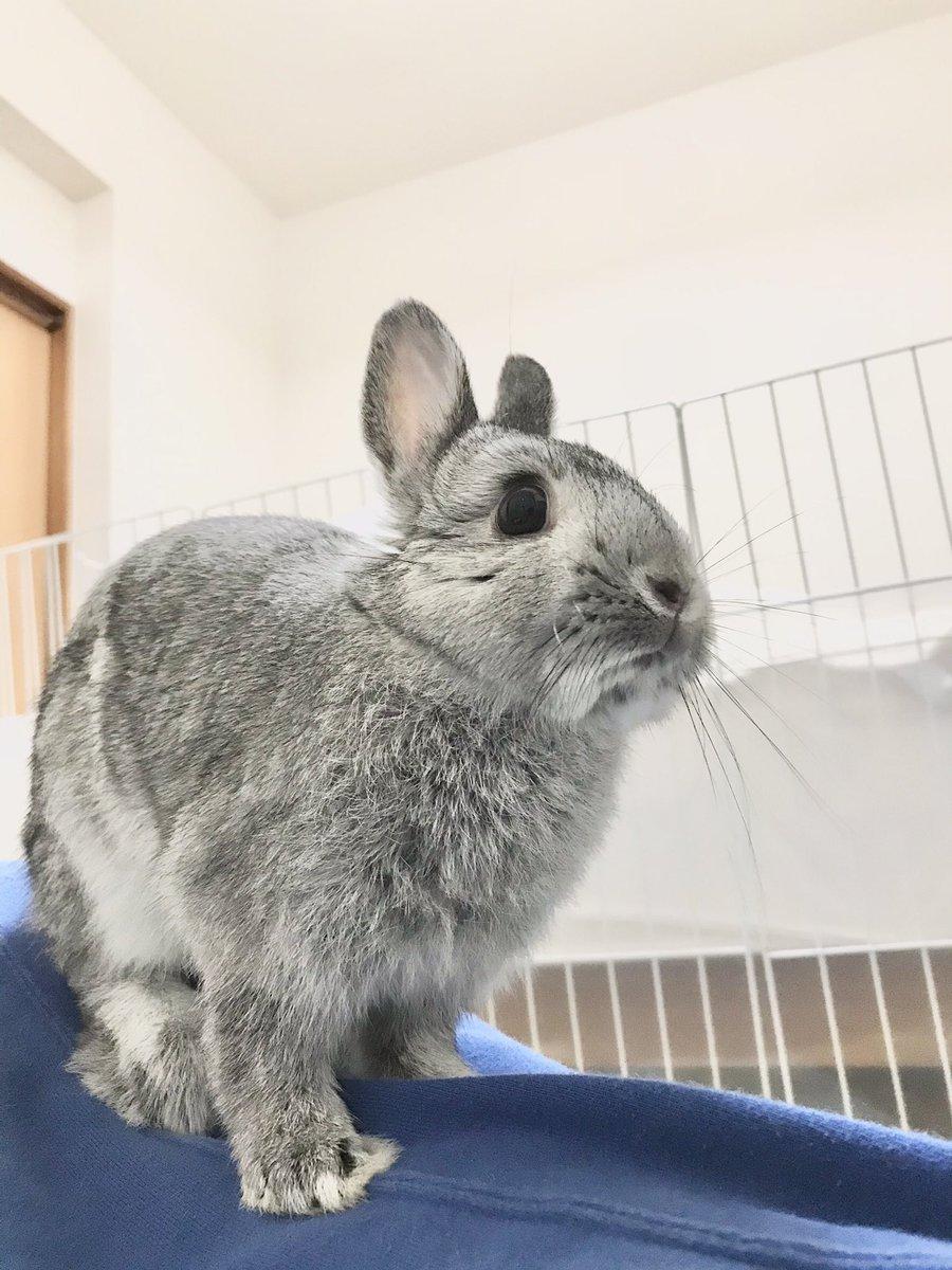 最近みみたろうは、自らの粗相の掃除をする献身的な飼い主の上に乗り、凛とした顔で世界を見渡すことにハマっています☺️#退院したらトイレの場所を忘れてわがままになったうさぎ #ネザーランドドワーフ #子うさぎ #うさぎ好きさんと繋がりたい #rabbit